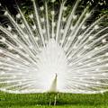 White Peacock  by Dustin K Ryan