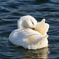White Pekin Duck In Blue Water Preening by Kathy Clark