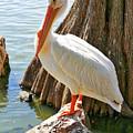 White Pelican By Cypress Tree by Carol Groenen