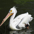 White Pelican by George Jones
