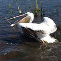 White Pelican In The Marsh by Bill Perry