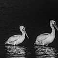 White Pelicans by Marie Elise Mathieu