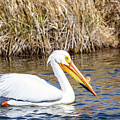 White Pelican by Michael Chatt