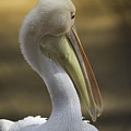 Shy White Pelican by Nancy Forehand