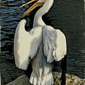 White Pelican Spread by Alice Gipson