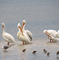 White Pelicans And Friends by Rosalie Scanlon