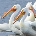 White Pelicans At Nelson Lake by Joni Eskridge