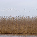 White Pelicans Fly Over Reed Bed On Lake  by Cliff Norton
