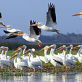White Pelicans In Central Florida by Stefan Mazzola