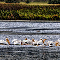 White Pelicans Kootenay Lake by Lawrence Christopher