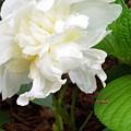 White Peonia by Teresa Doran
