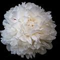 White Peony Flower by Yana Reint