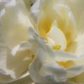 White Peony Tulip Detail by Teresa Mucha