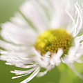 White Petal Flower Abstract by Michelle Himes