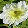 White Petunia - Solanaceae by Mother Nature