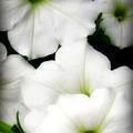 White Petunias 2 by Krista Carofano