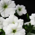 White Petunias by Krista Carofano