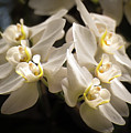 White Phalaenopsis Blossom by Zina Stromberg