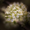 White Plum Blossom- 2 by Calazone's Flics