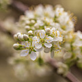 White Plum Blossom by Calazone's Flics