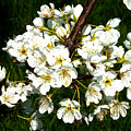White Plum Blossoms by Laura Greco