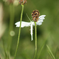 White Plume Moth, by Frances Lewis