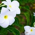 White Plumeria by Jade Phoenix