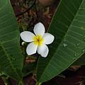 White Plumeria by Rachel Nusz