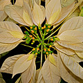 White Poinsettia by Rich Walter