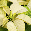 White Poinsettias For Christmas by Jill Lang