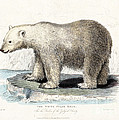White Polar Bear On Ice Floe by Wellcome Images