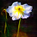 White Poppy by Donna Bentley