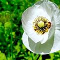 White Poppy by Mioara Andritoiu