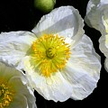 White Poppy Trio Photograph by Kimberly Walker