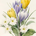 White Primroses And Early Hybrid Crocuses by Louise D'Orleans