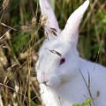 White Rabbit by Randall Ingalls