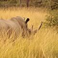 White Rhino by Clayton Andersen