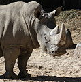 White Rhino by Ronald Reid