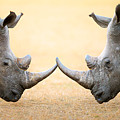 White Rhinoceros  Head To Head by Johan Swanepoel