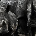 White Rhinos  by Steve Evans