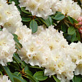 White Rhodies Landscape Floral Art Prints Canvas Baslee Troutman by Baslee Troutman