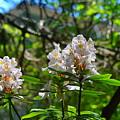White Rhododendron Blooms by Stacie Siemsen