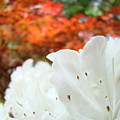 White Rhododendron Flowers Botanical Garden Prints by Baslee Troutman