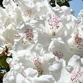 White Rhododendrons Flowers Art Prints Baslee Troutman by Baslee Troutman