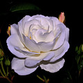 White Rose 006 by George Bostian