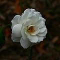 White Rose 209 by David Houston