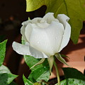 White Rose After Rain 1 by Valerie Ornstein