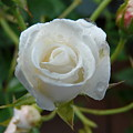 White Rose After Rain 2 by Valerie Ornstein