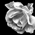 White Rose Aglow by Smilin Eyes  Treasures