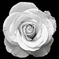 White Rose by Aimee L Maher ALM GALLERY
